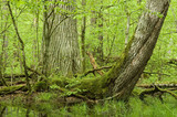 Old oak, curved spruce and water poster