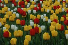 Tulipes 007