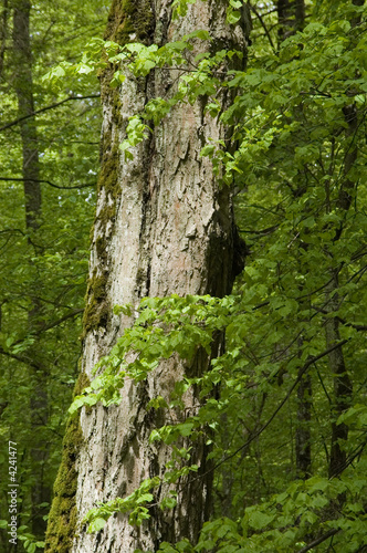 Green linden tree leaves against dead trunk