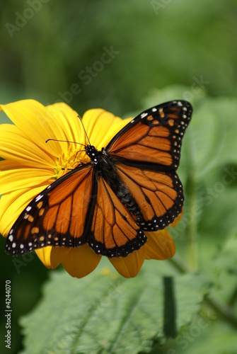 monarch wingspread