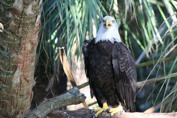 Bald Eagle Looking Forward