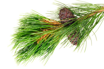 siberian cedar branch with ripe cone