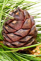 siberian cedar branch with ripe cone