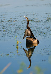 Anhinga Perched On Post