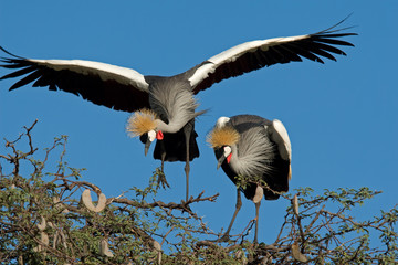 Crowned cranes (Balearica regulorum)