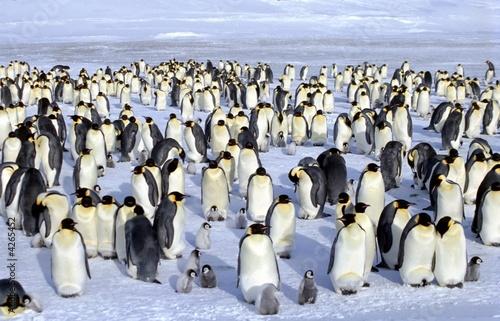 Papiers peints Pingouin Colonie d'empereurs