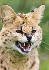 Serval snarling