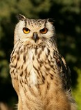Eurasian Eagle Owl (bubo bubo) poster