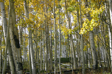 Aspen Grove (Populus tremuloides)