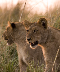 lion cubs in chobe game reserve