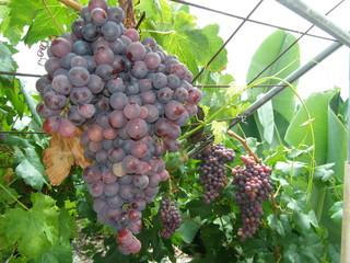 Weintrauben auf einem rebstock