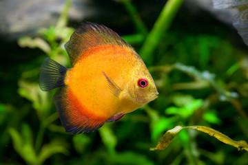 Discus fish - Symphysodon aequifasciatus in aquarium