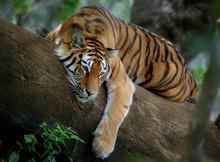 Tigre en el árbol