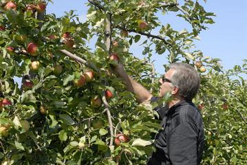 cueillettte des pommes