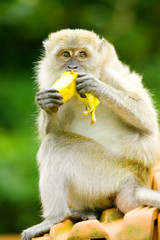 Monkey sits on top of roof eating a banana