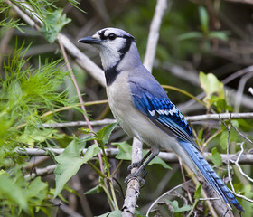 Blue Jay posing on a branch.