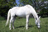 white horse grazing poster