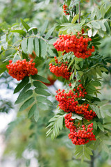 Red berries of a rowan