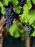 Fototapety Italian vineyard