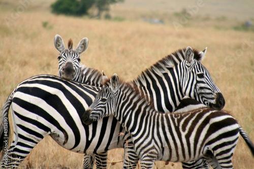 Fototapeta Zebra family