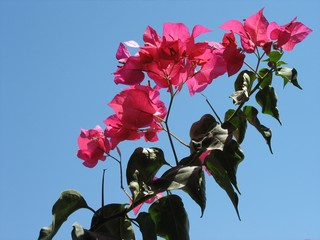 Pink bougainvillea against a clear blue sky