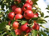 Rote Äpfel - Fine Art prints