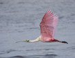 Roseate Spoonbill in flight over water