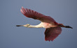 Roseate Spoonbill flying into the morning sun.