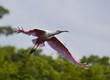 Roseate Spoonbill in flight over trees.