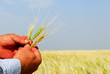 Farmer Holding Durum Wheat