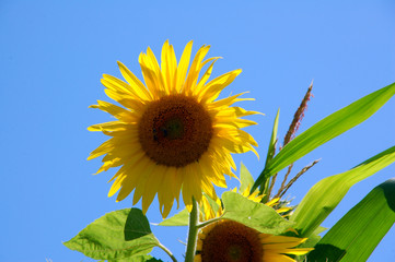 Sunflower in a field in the Savoie in France