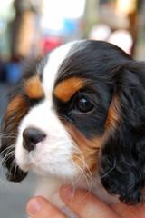 Pet Dog Closeup