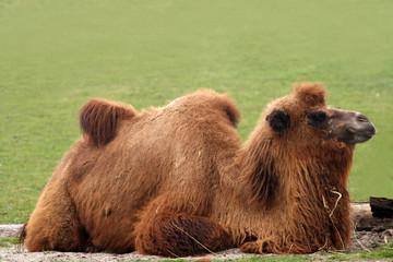 Camelus bactrianus - camel