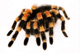 Mexican Red Knee Tarantula poster