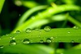 Fototapeta kropla - trawa - Roślinne