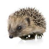 hedgehog (1 months) poster
