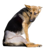 Young wounded german shepherd poster