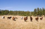 Wild Horse Herd poster