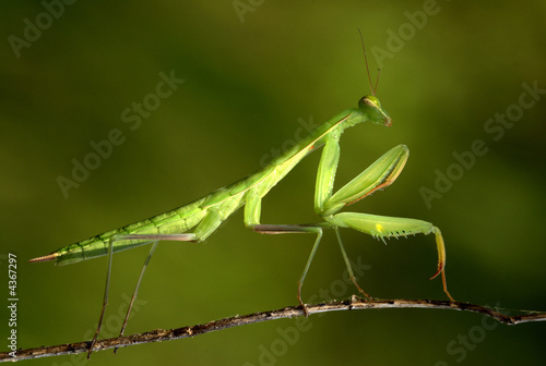 praying Mantis 03