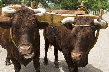 Pair of Oxen with Yoke