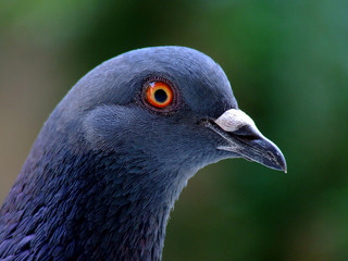 Blue pigeon bird portrait