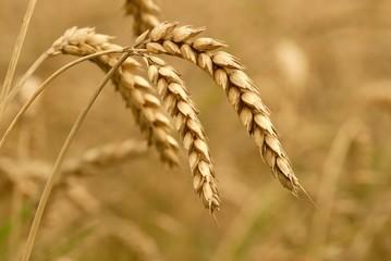épis de blé à l'aube