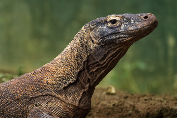 komodo dragon with blur background