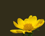 vivid yellow aster poster