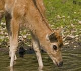 Bronx Zoo - pere deer poster