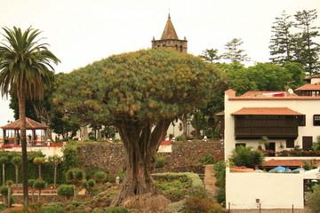 drago milenario mas antiguo y palmera en tenerife
