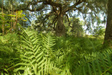 Southern Wood Fern poster