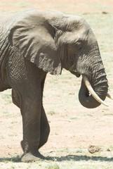 Elefante - lato - verticale