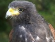 bird of prey,  harris hawk