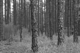 Fir tree grove in south carolina poster